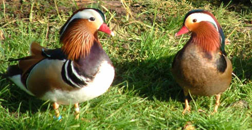 Normal and Black Mandarin males