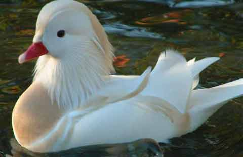 White Mandarin on water